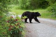 Bear in my parent's driveway