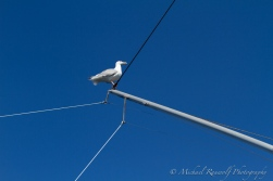 Seagulls hitched rides on our poles waiting for me to throw fish guts over the side.