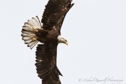 Eagle in Flight #2