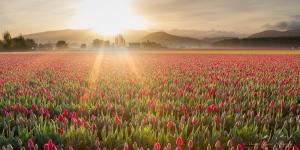 tulip morning skagit valley