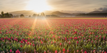 tulip morning skagit valley