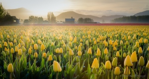 tulip sunrise skagit valley
