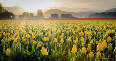 tulip sunrise skagit valley