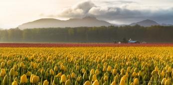 yellow tulips at sunrise