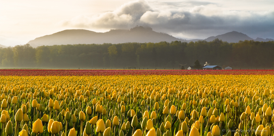 yellow tulips at sunrise