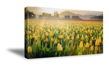 Tulip Sunrise Canvas Print Preview