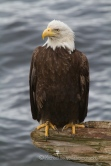 eagle perched on driftwood