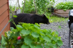 black bear in driveway