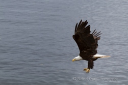 bald eagle diving
