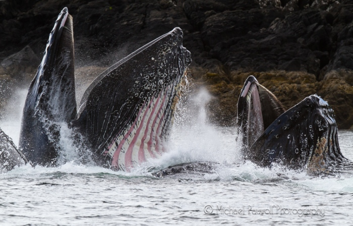 close up humpback whales\