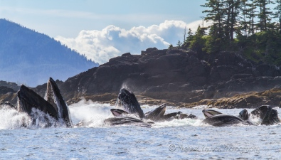 humpback whales group feeding