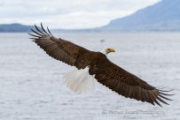 top view of bald eagle in flight