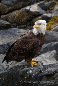 bald eagle on rocks