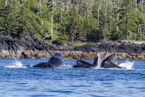 humpback whales bubble feeding