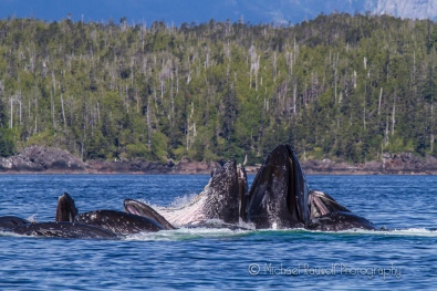 humpback whales bubble feeding