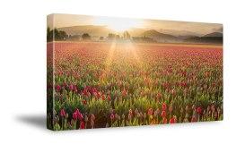 TulipMorning2
